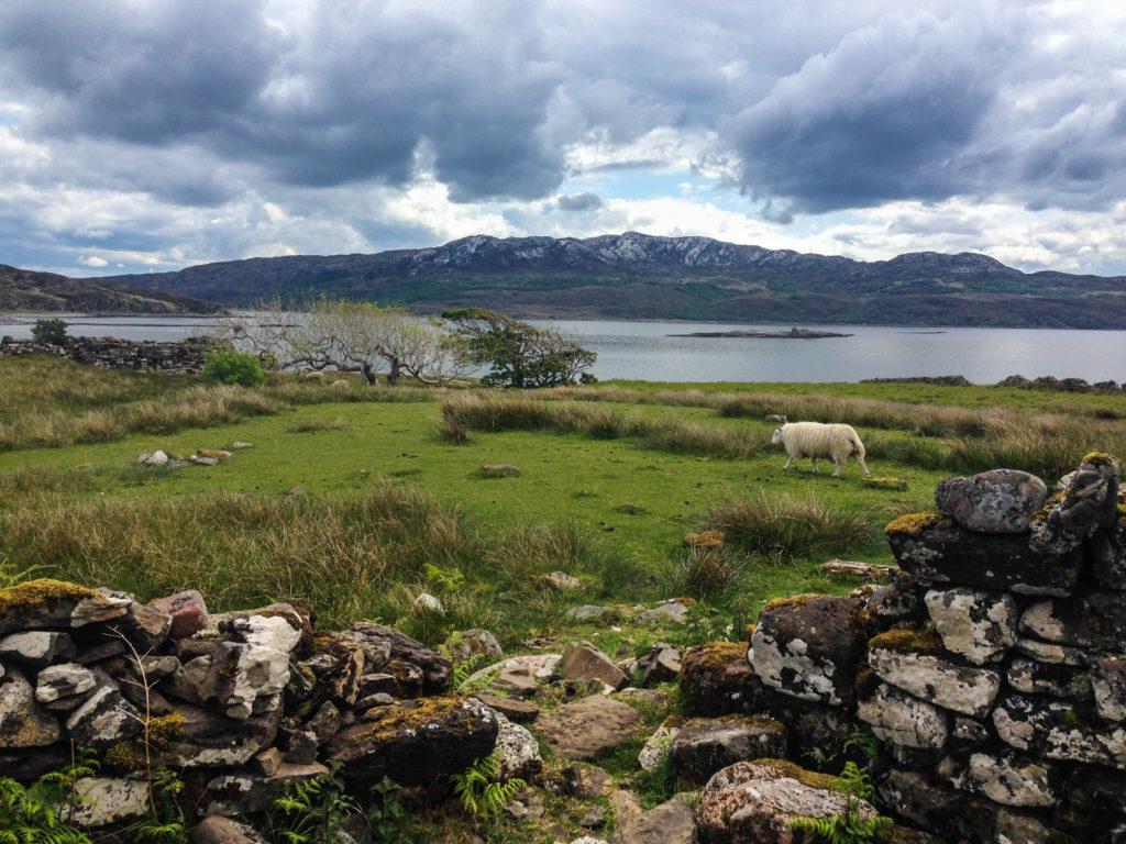 Schaf in Boreraig